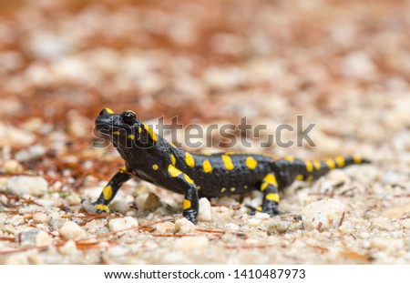 European fire salamander (Salamandra salamandra) after rain on path, Andalusia, Spain.