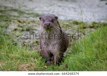 european fish otter. Picture taken in Naturepark Lelystad Netherlands