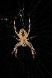 European garden spider (Araneus diadematus) in their cobweb