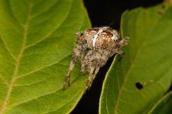 European garden spider (Araneus diadematus) on a leaf