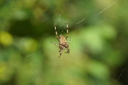 European garden spider, diadem spider, orangie, cross spider or crowned orb weaver (Araneus diadematus) in its web. Family Orb-weaver spiders, araneids (Araneidae). In front of a faded shrubs.