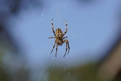 European garden spider, diadem spider, orangie, cross spider or crowned orb weaver (Araneus diadematus) high in the air in its web. Faded surrounding. Family Orb-weaver spiders, araneids (Araneidae).