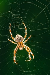 European garden spider, diadem spider, orangie, cross spider or crowned orb weaver in its web close up against Green Background