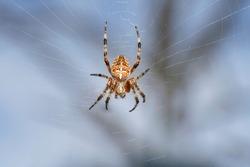 European garden spider, diadem spider, orangie, crowned orb weaver  (Araneus diadematus) in spiderweb. Place for text.