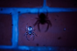 European garden spider in the web at night, large shadow from the spider