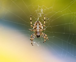 European Garden Spider or Cross Orb-Weaver Eating a Captured Fly
