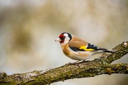 European goldfinch bird on a twig, in the garden