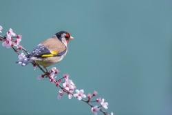 European Goldfinch (Carduelis_carduelis)