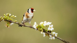 European goldfinch, carduelis carduelis, male perched on twig with flourishing flowers in spring nature. Garden bird resting on blossoming branch with green blurred background and copy space.