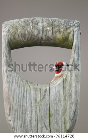 European Goldfinch (Carduelis carduelis) perched on old spade handle