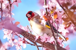 European goldfinch (Carduelis carduelis) sitting on a cherry tree branch in blossom