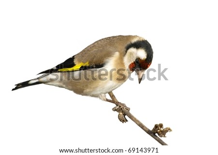 European goldfinch isolated on white, Carduelis carduelis #69143971