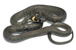 European grass snake - Natrix natrix isolated on white
