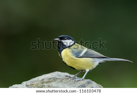 European great tit