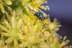 European Green blowfly (lucilia sericata) sitting on a yellow garden flower, Cape Town, South Africa