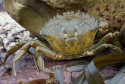 European Green Crab amongst red rock and green seaweed/Crab/Green Shore Crab (carcinus maenus)