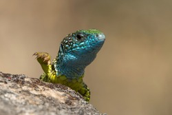 European green lizard (Lacerta viridis) on a rock with yellow background. Green and blue reptile lizard with raised hand waving. Wildlife scene from nature. Czech Republic