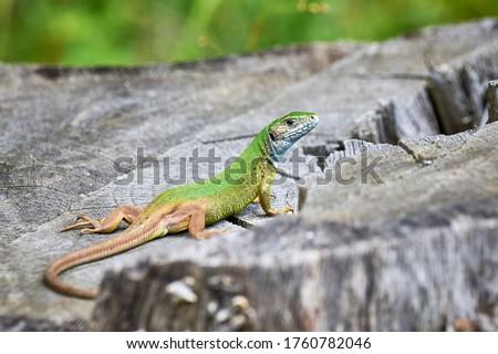 Photo of  European green lizard (Lacerta viridis) sunbathing in the morning