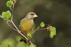 European greenfinch (Carduelis chloris). Bird sitting on a branch. Bird of Europe. Songbird in the nature habitat.