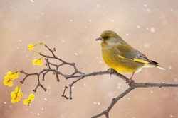 european greenfinch, chloris chloris, sitting on berries twig in winter. Colorful bird looking on branch during snowstorm. Yellow songbird resting on bough with copy space.