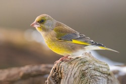European greenfinch (Chloris chloris). Small bird with fresh yellow color body. Song bird sitting on woody root. Diffused brown background. Garden bird in winter time on feeder. European wildlife.