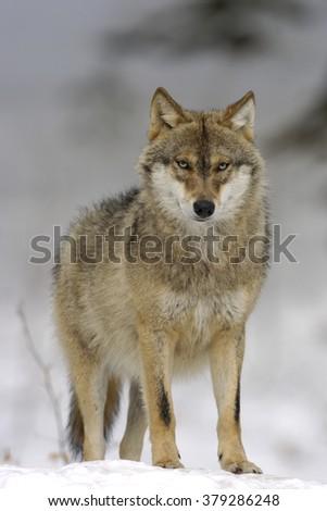 European Grey Wolf #379286248