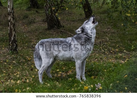 European Grey Wolf howling against a wood in autumn