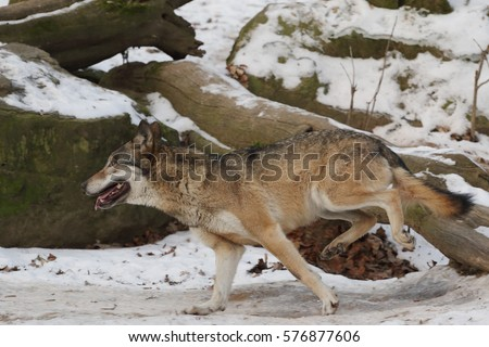 European grey wolf jumping over a fallen tree. A close up picture of a rare predatory mammal in a winter time.