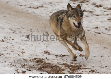 European grey wolf running through a meadow. A close up picture of a rare predatory mammal in a winter time.