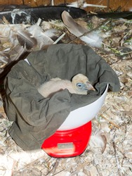 European griffon vulture nestling in a libra