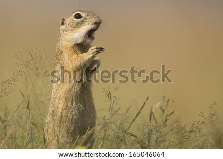European Ground Squirrel