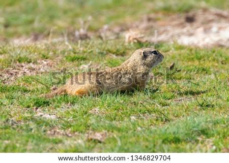 European ground squirrel, Souslik (Spermophilus citellus) natural environment #1346829704