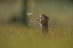 European ground squirrel Spermophilus citellus, Ziesel early in the morning in extreme backlight