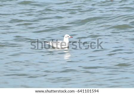 European gull, Larus argentatus.