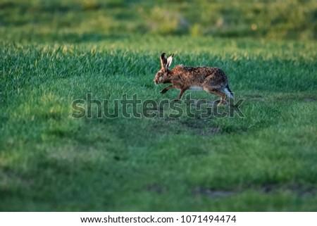 European hare running on a field #1071494474
