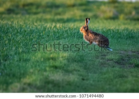 European hare running on a field #1071494480