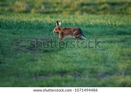 European hare running on a field #1071494486