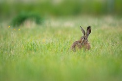 European hare sitting in the grass. Brown mammal in its natral environment. Brown hare on a meadow.