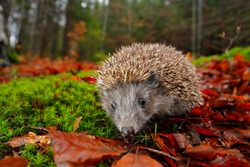 European Hedgehog, Erinaceus europaeus, on a green moss in the forest, photo with wide angle. Hedgehog in dark wood, autumn image. Cute funny animal with snipes.