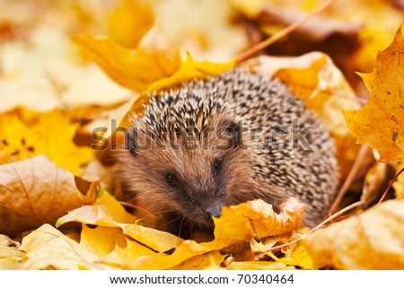 European hedgehog in maple leafs - stock photo