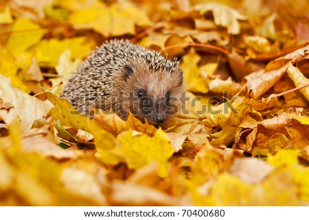 European hedgehog in maple leafs