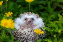 European Hedgehog playing in the flower garden with very pretty face and two front paws.