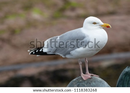European Herring Gull is one of the best known of all gulls along the shores of western Europe. #1118383268