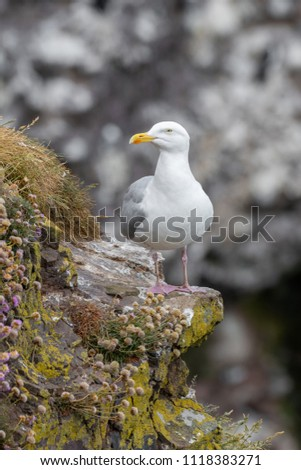 European Herring Gull is one of the best known of all gulls along the shores of western Europe. #1118383271