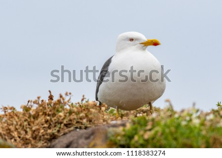 European Herring Gull is one of the best known of all gulls along the shores of western Europe. #1118383274