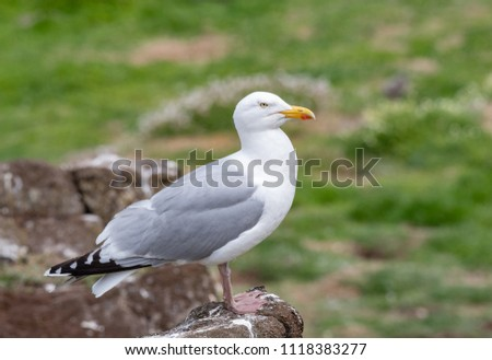 European Herring Gull is one of the best known of all gulls along the shores of western Europe. #1118383277