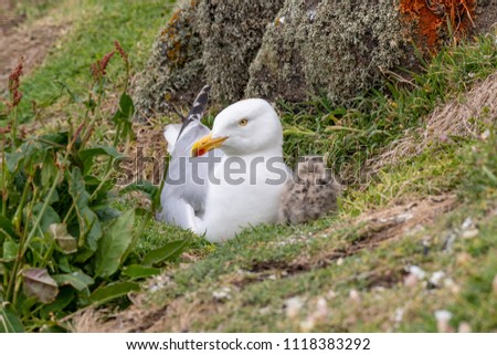 European Herring Gull is one of the best known of all gulls along the shores of western Europe. #1118383292
