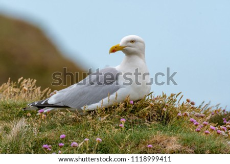European Herring Gull is one of the best known of all gulls along the shores of western Europe. #1118999411