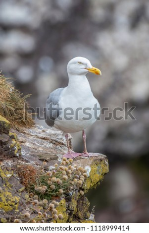 European Herring Gull is one of the best known of all gulls along the shores of western Europe. #1118999414