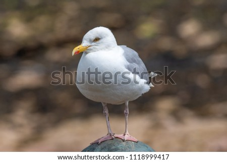 European Herring Gull is one of the best known of all gulls along the shores of western Europe. #1118999417